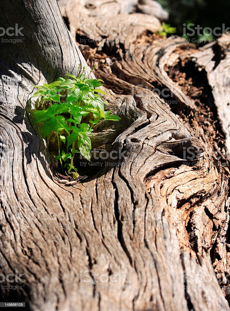new life in old tree, sapling growing on rotten bark royalty-free stock photo
