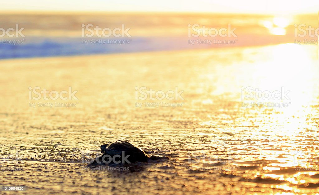 New Life of Young Turtle (hatchling) stock photo