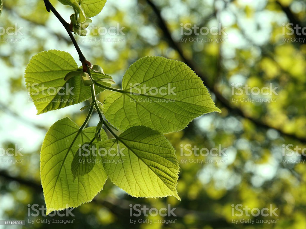 New lime (linden) tree leaves in spring stock photo