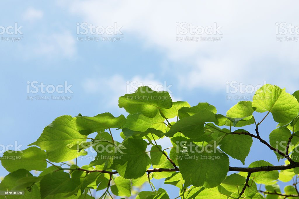 New lime tree leaves on blue summer sky with clouds stock photo