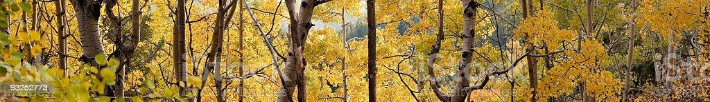 New Mexico Aspens stock photo
