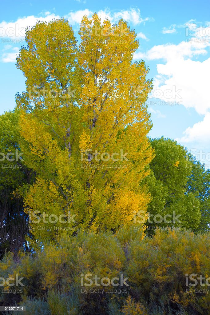 New Mexico Fall Vista: Yellow Cottonwood, Puffy Clouds, Blue Sky stock photo