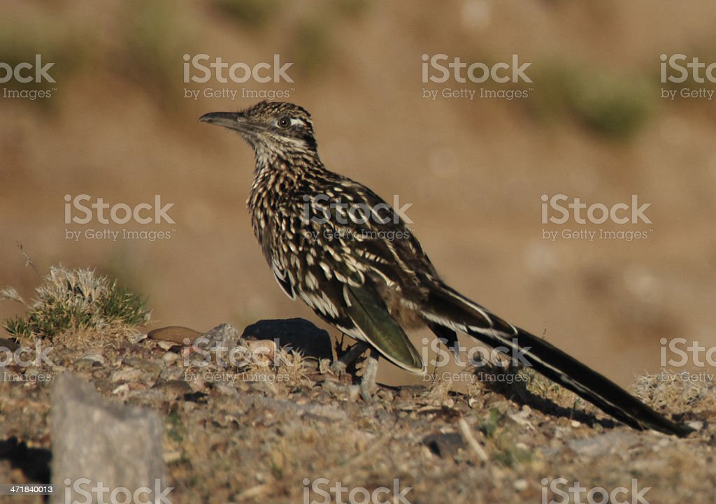 New Mexico Roadrunner on Hill royalty-free stock photo