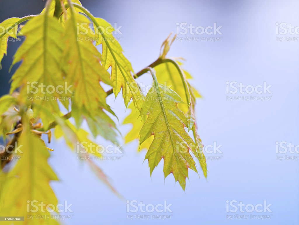 New Oak Leaf Buds on Blue royalty-free stock photo