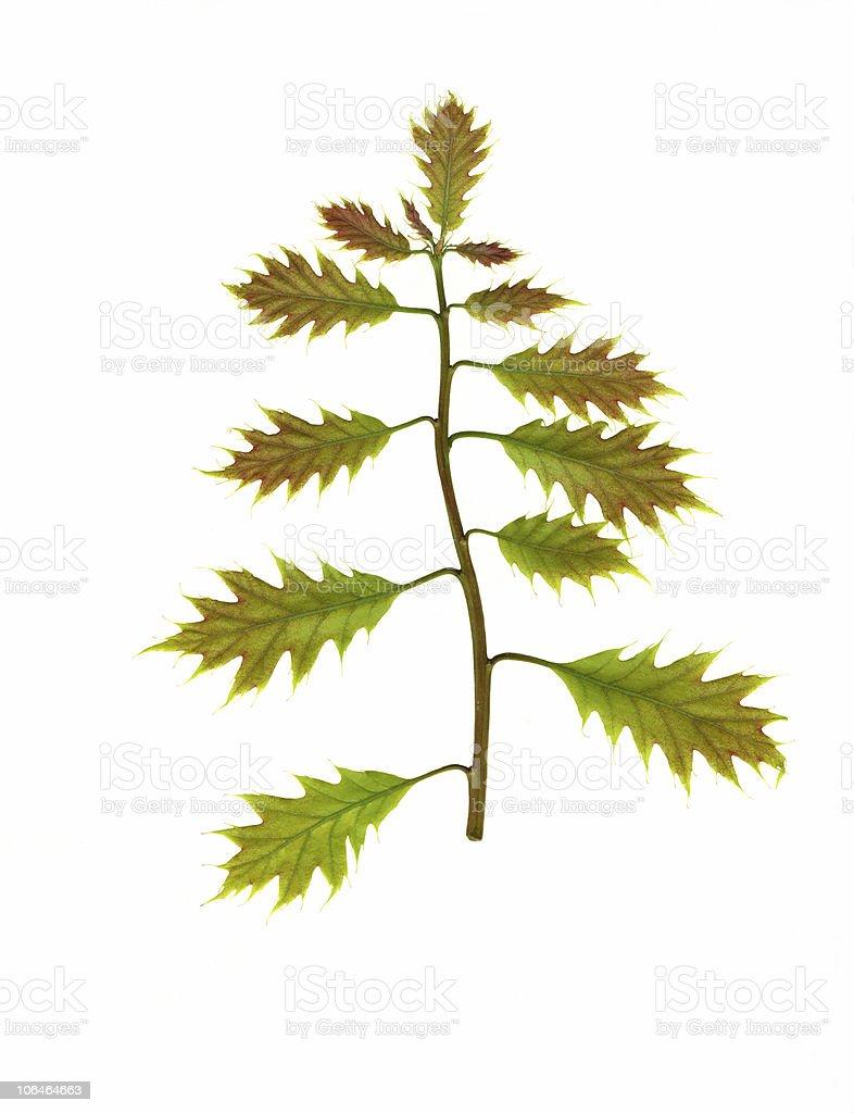 New Oak Leaves stock photo