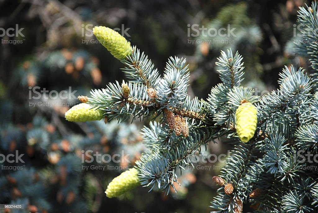 new pine cones stock photo