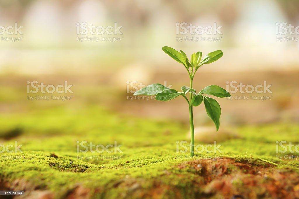 New plant emerging from the ground stock photo