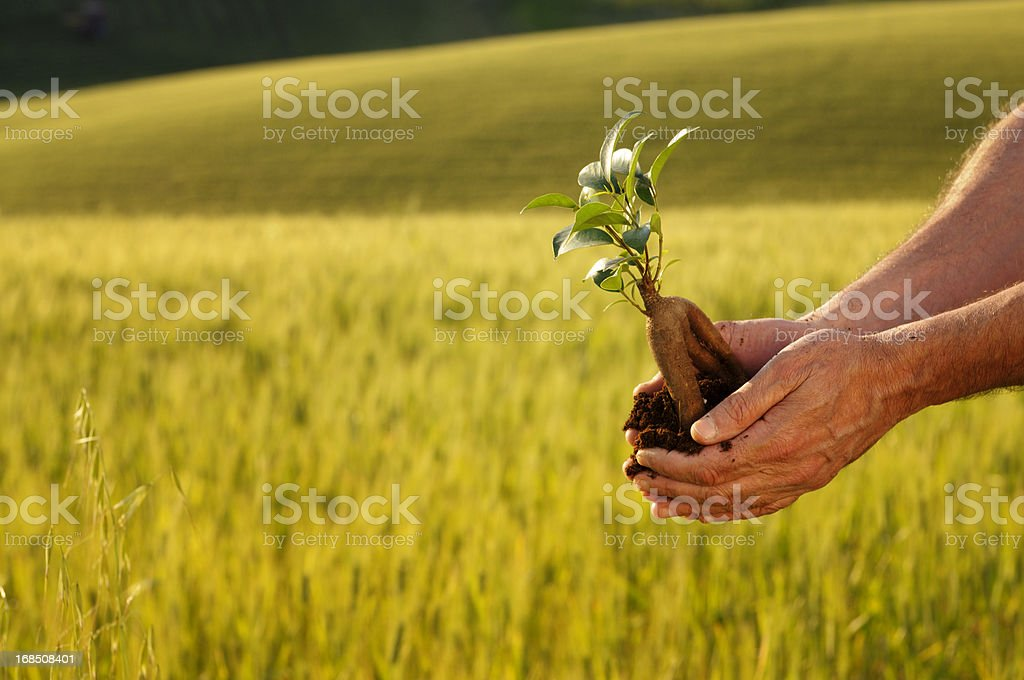 New Plant in Hands at Sunset royalty-free stock photo
