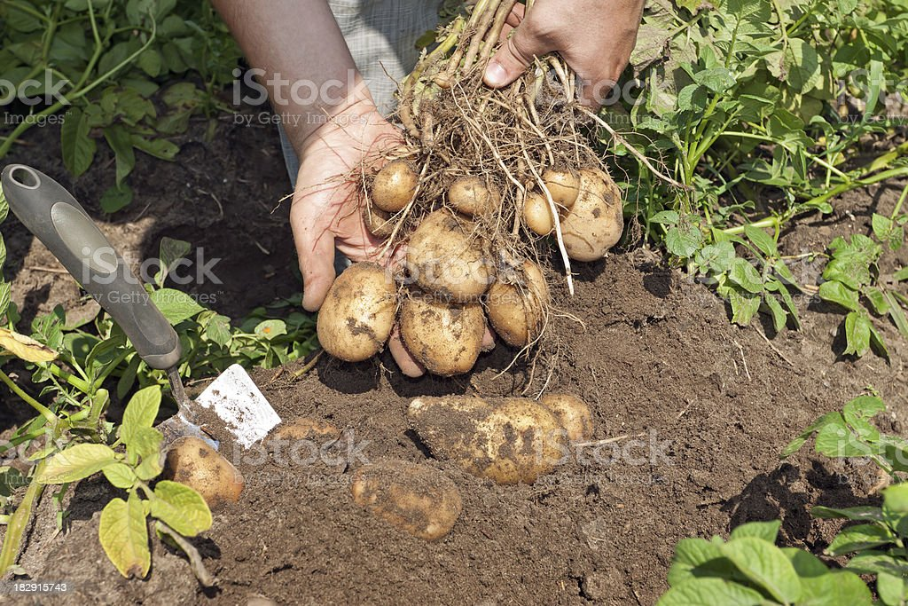 New potatoes in field royalty-free stock photo