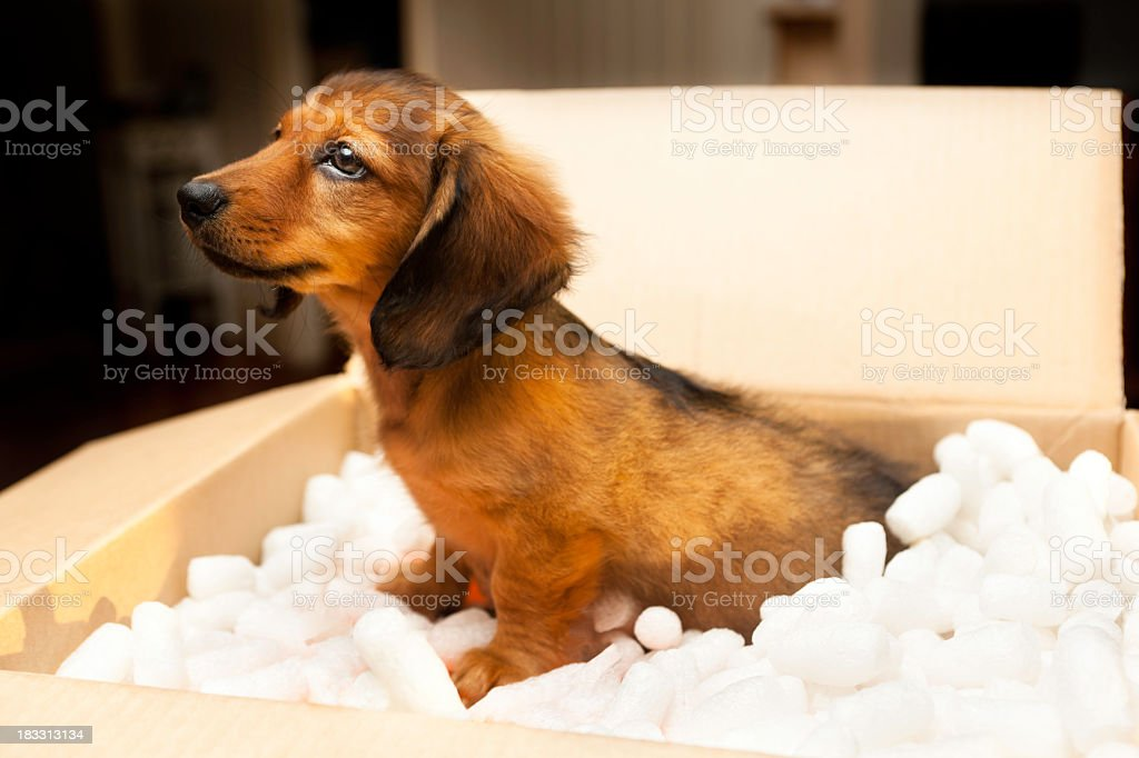 New Puppy in a cardboard box royalty-free stock photo