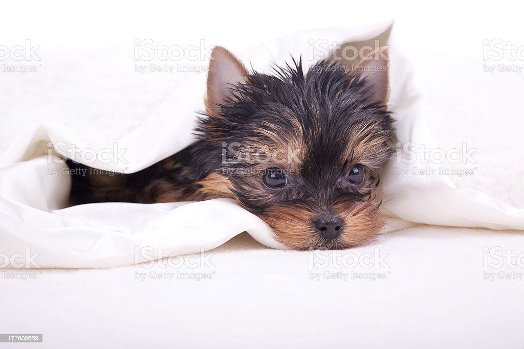 New Puppy! (XL) royalty-free stock photo