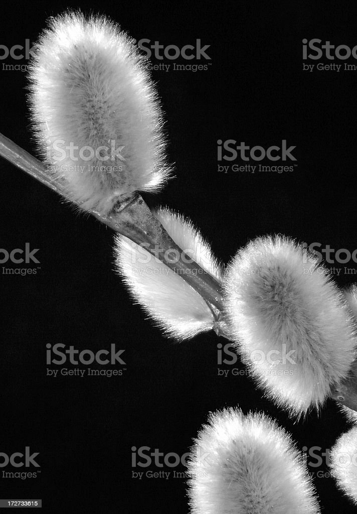 New Pussy Willows royalty-free stock photo