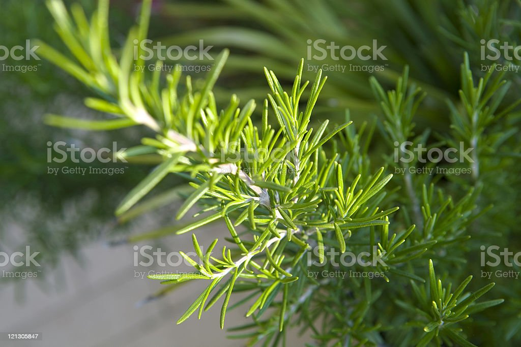 new rosemary royalty-free stock photo