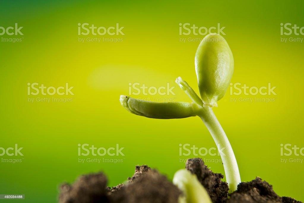 New seed plant germinting from the soil stock photo