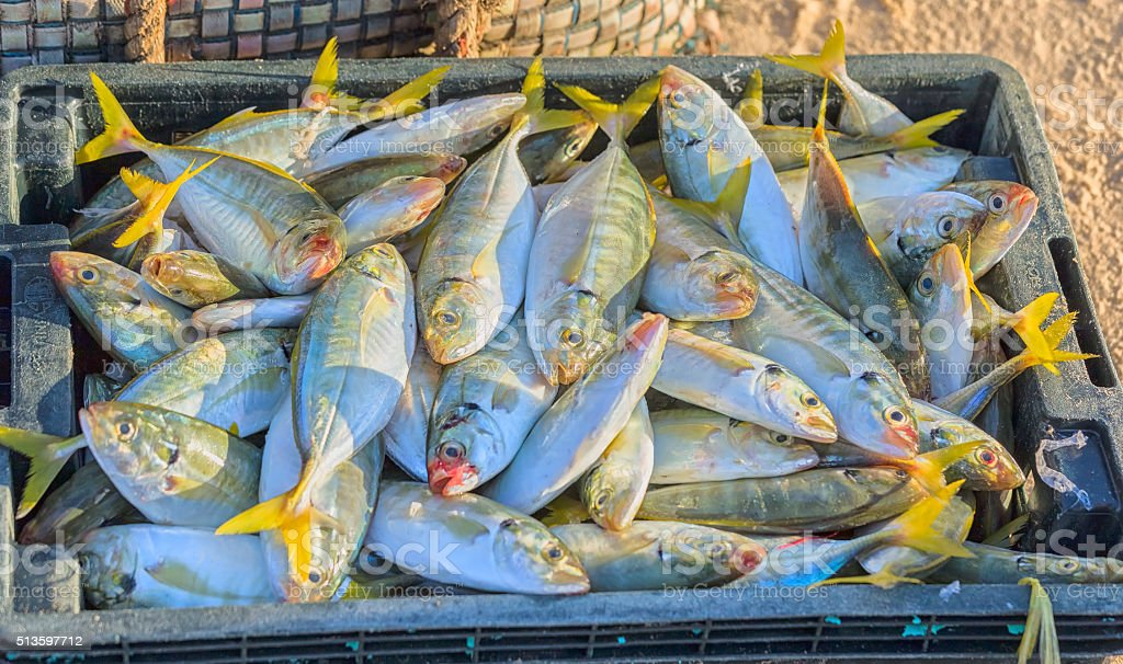 New snapper catch from the sea stock photo