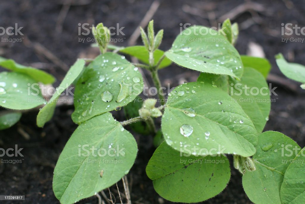 New Soybeans After Spring Rain Close-up royalty-free stock photo