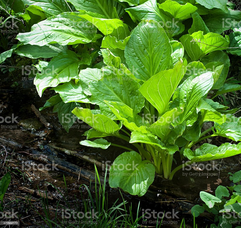 New Spring Foliage Deep in Woods stock photo