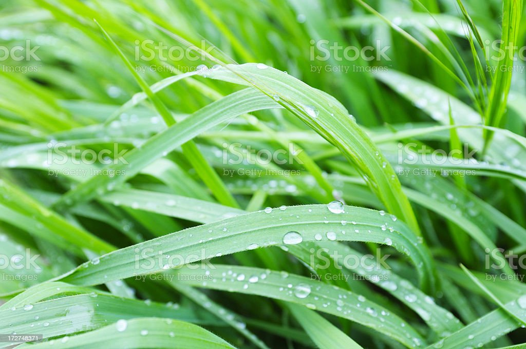 New Spring Grass royalty-free stock photo