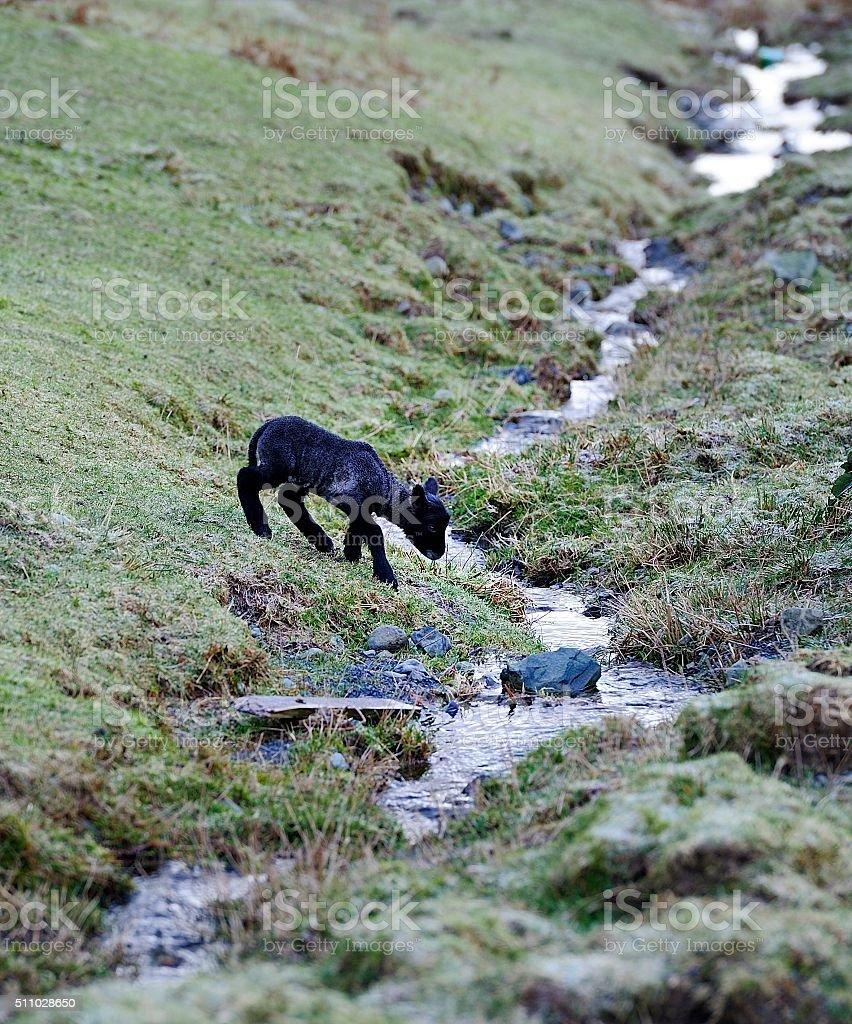 New Spring Herdwick Lamb stock photo