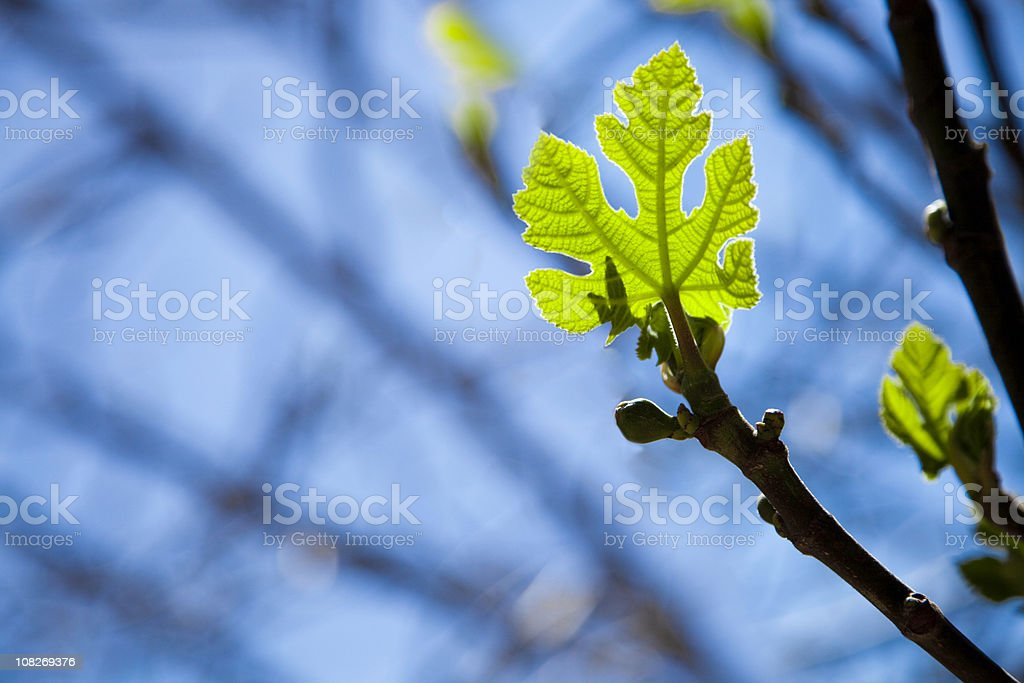 New Spring Leaf stock photo
