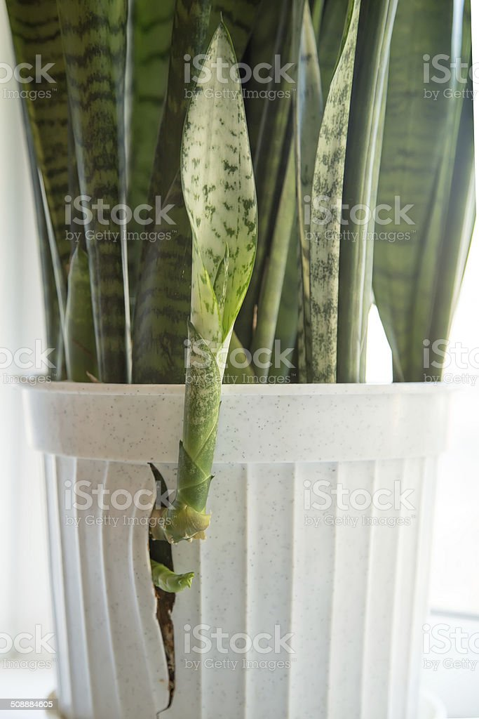 new sprouts broke through the wall of the pot stock photo