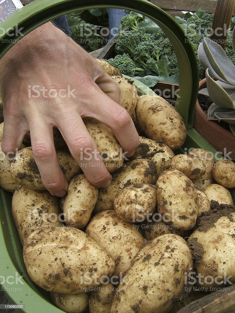 New spuds royalty-free stock photo