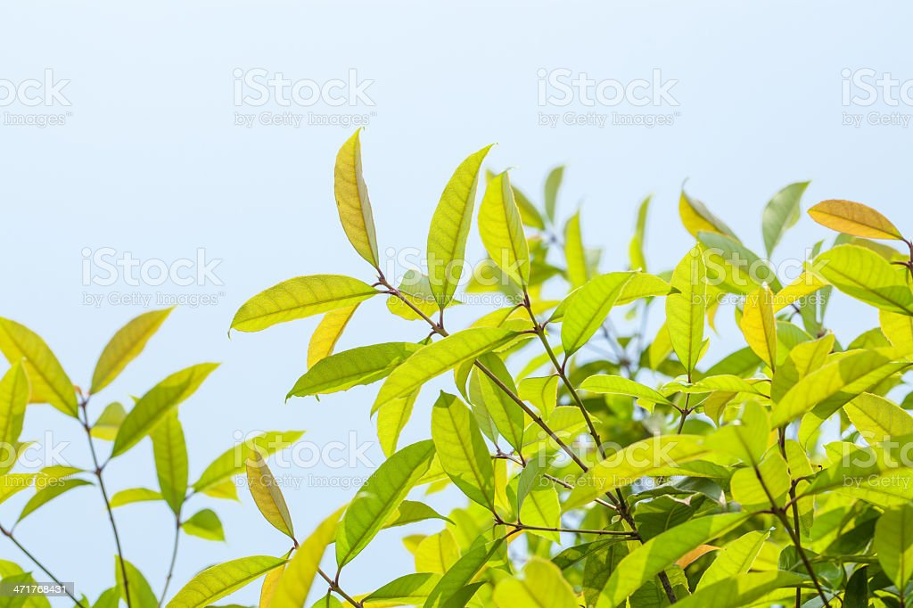 new tree tea leaves royalty-free stock photo