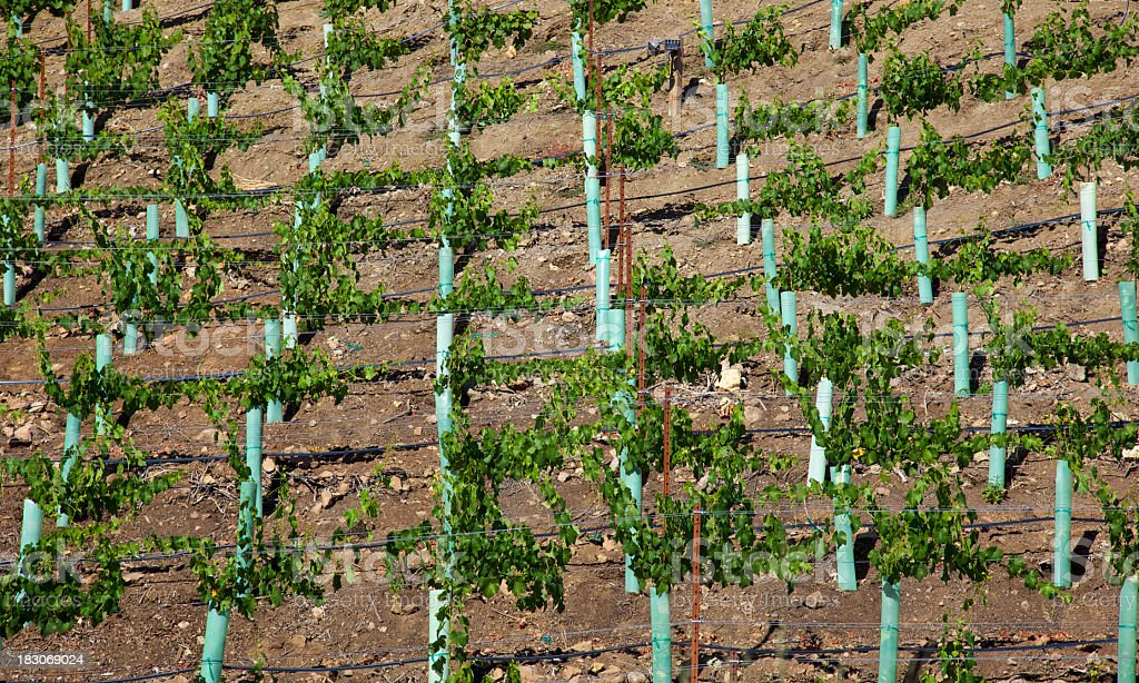 New Vineyard stock photo