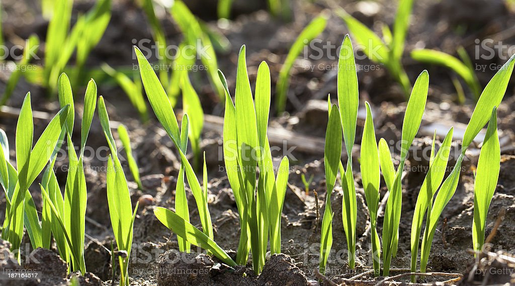 New wheat plants growing in the soil stock photo