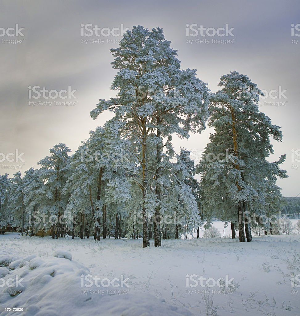 New year landscape in snowy woods royalty-free stock photo