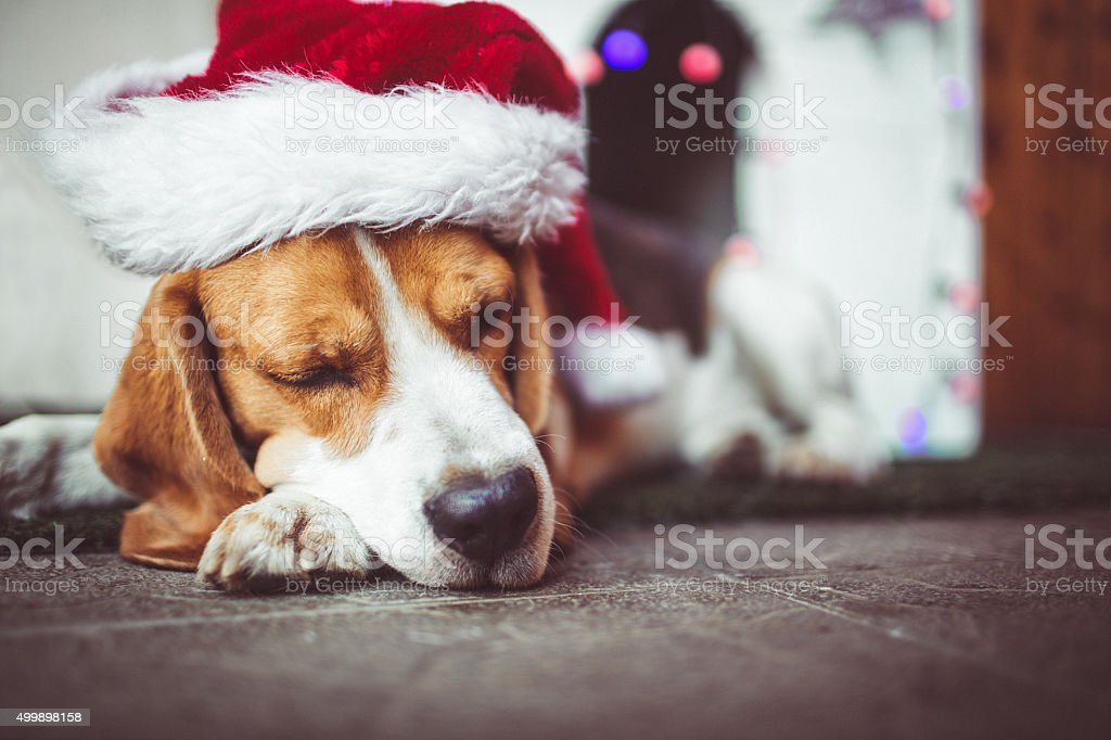 Cute beagle dog with Santa\'s hat sleeping in front of his doghouse...