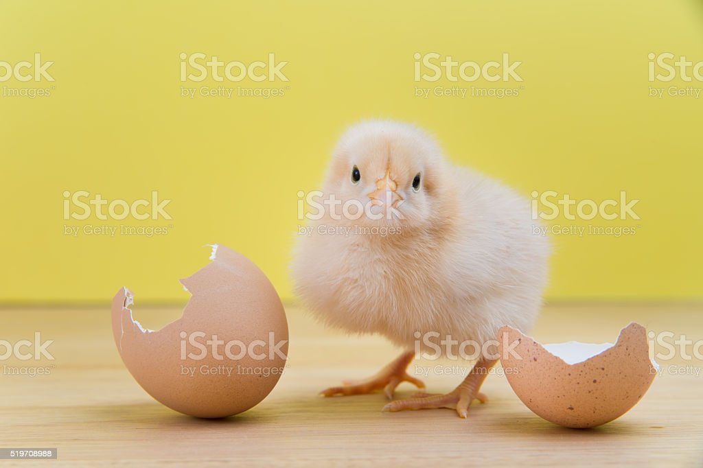 New yellow chick stands near cracked shell stock photo
