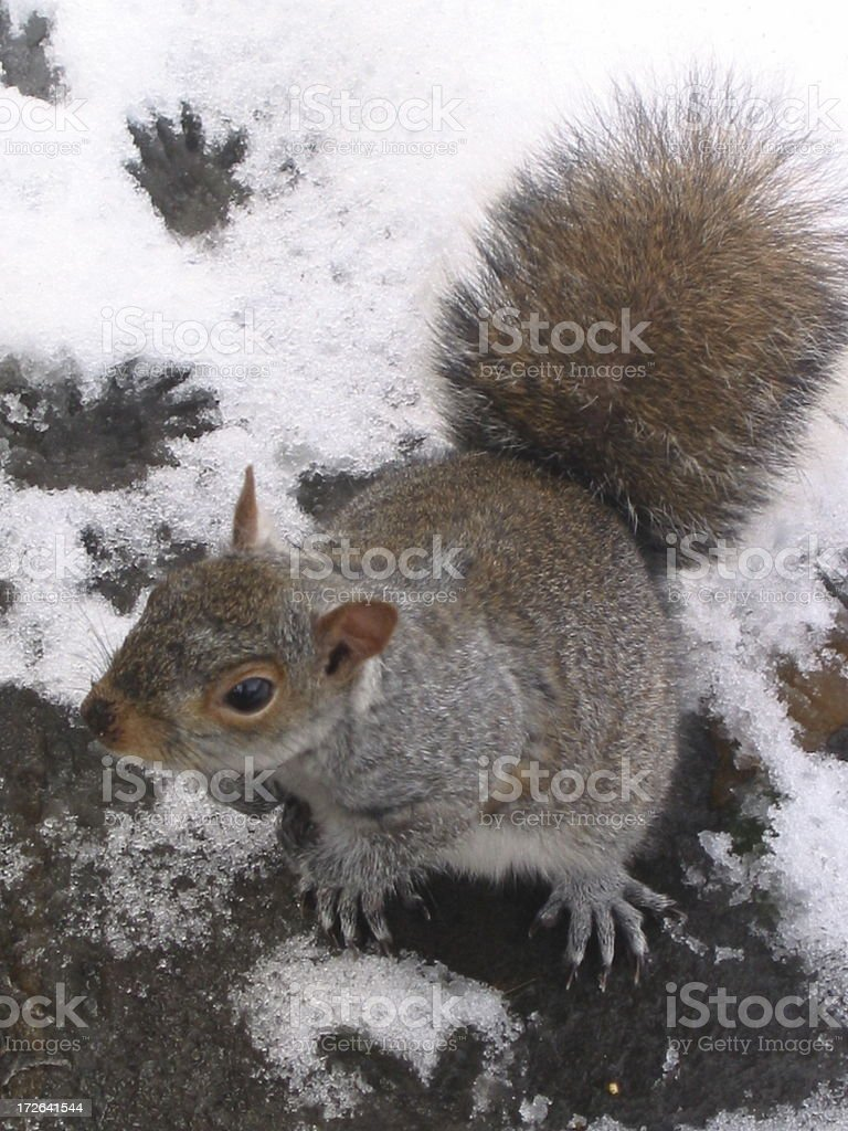 New York Squirrel - D royalty-free stock photo