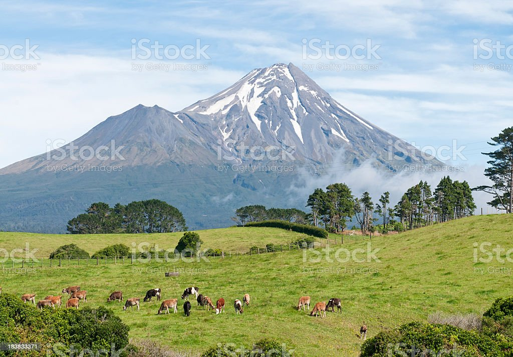 New Zealand Dairy Herd royalty-free stock photo