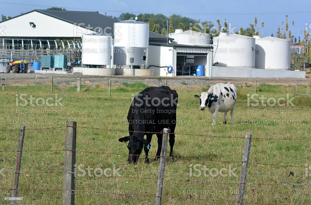 New Zealand Dairy Industry stock photo