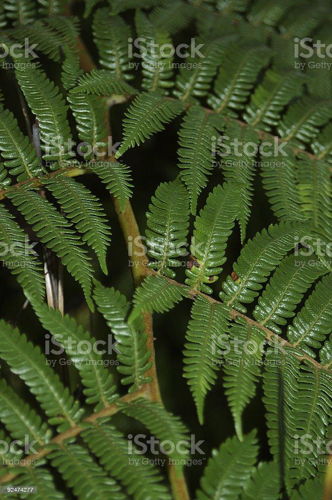 New Zealand Fern - Detail royalty-free stock photo