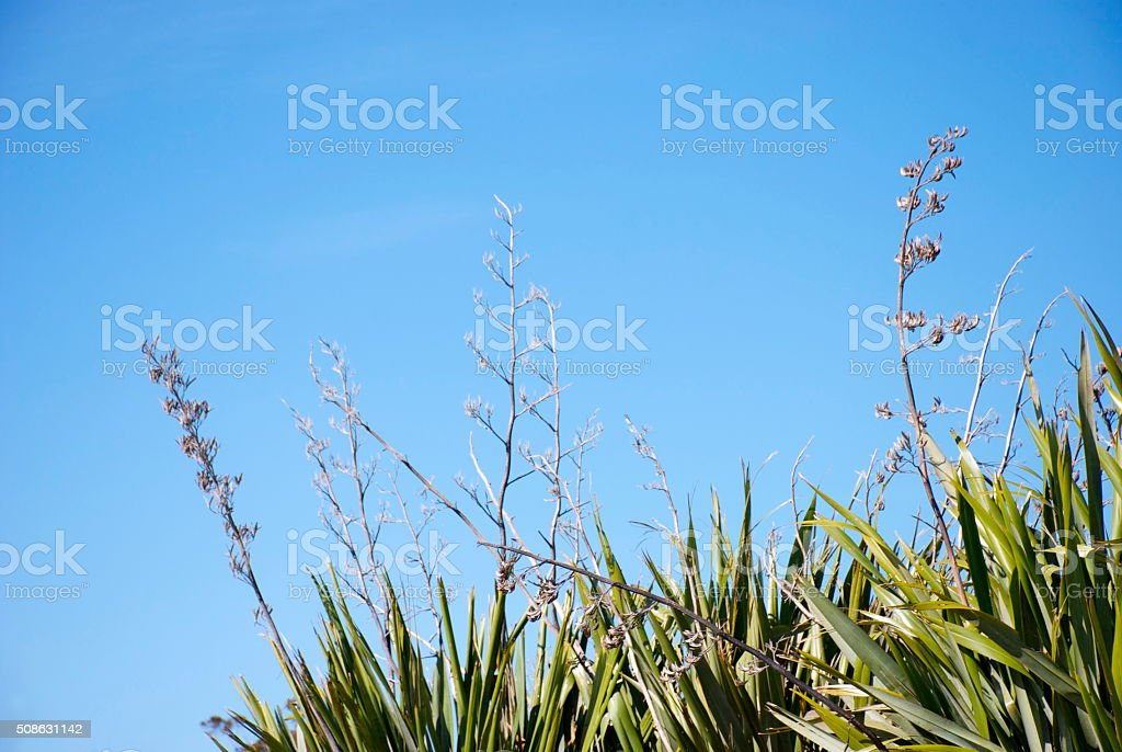New Zealand Flax (Harakeke) and Sky Background stock photo