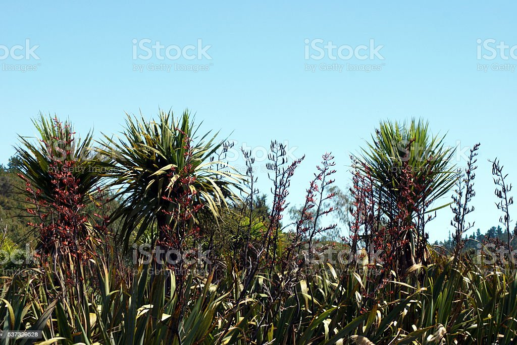 New Zealand Flax Flower & Cabbage Tree Skyscape stock photo
