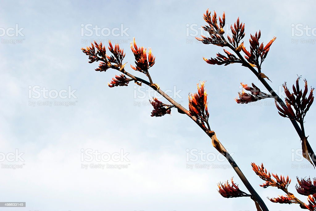 New Zealand Flax Flower stock photo