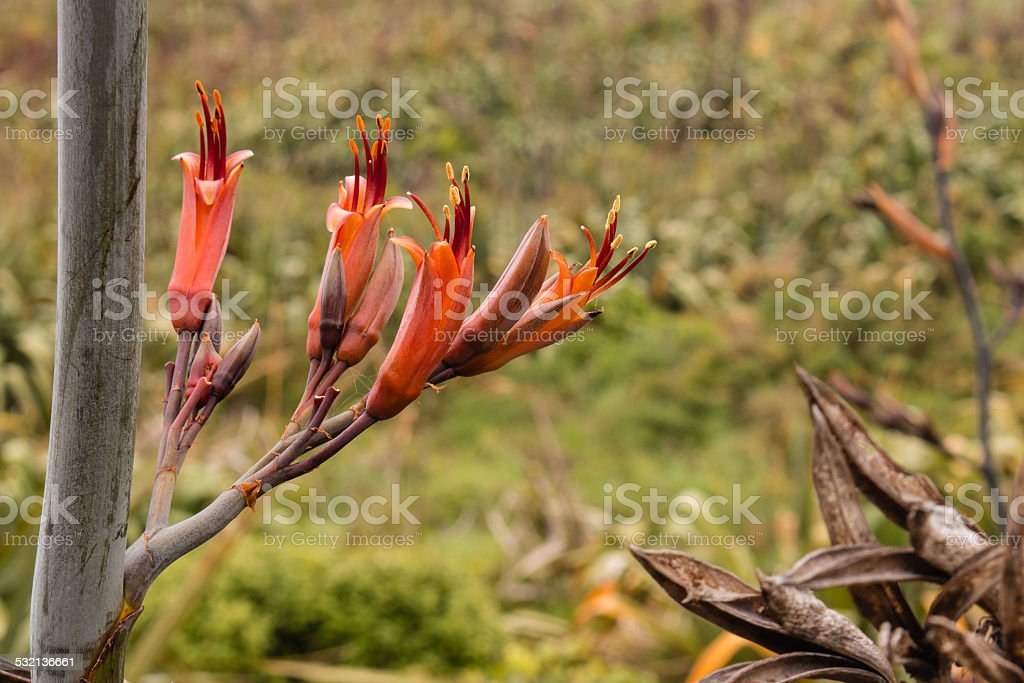 New Zealand flax flowers stock photo