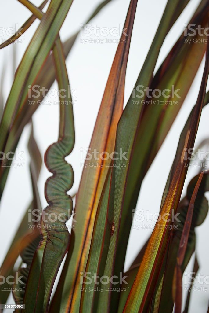 New Zealand Flax (Phormium) on Overcast Grey Day stock photo