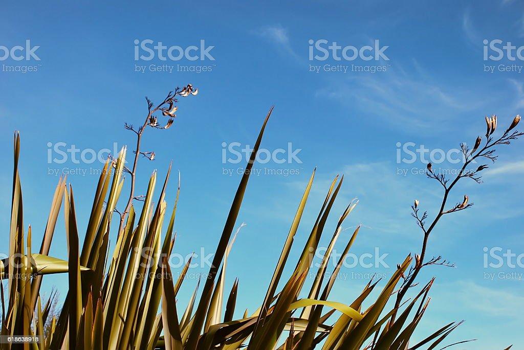 New Zealand Flax (Harakeke) stock photo