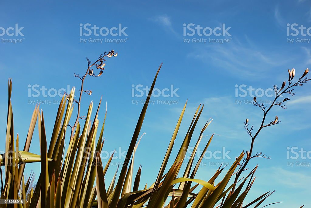 New Zealand Flax (Harakeke) stock photo