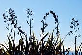 New Zealand Flax (Harakeke)