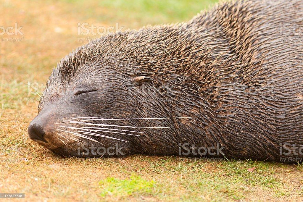 New Zealand fur seal Arctocephalus forsteri naps stock photo