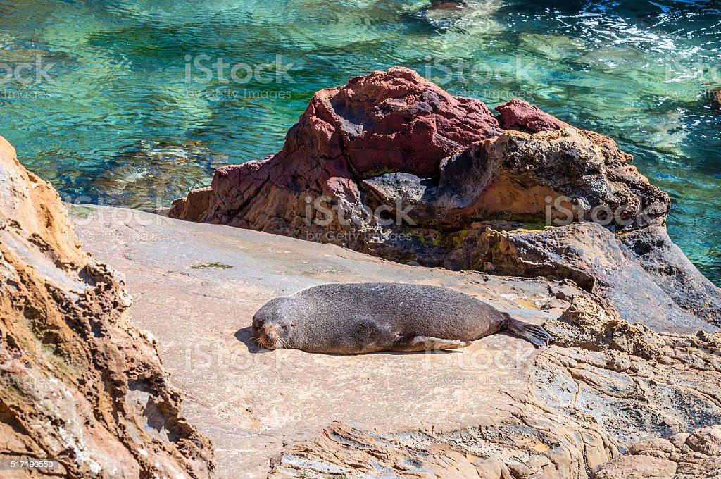 New Zealand fur seal at coast, sunbathing on a rock stock photo
