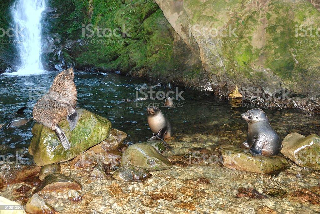 New Zealand Fur Seal pups stock photo