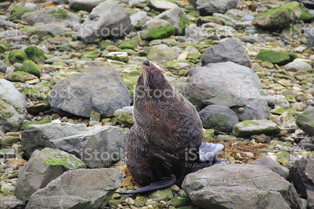 New Zealand Fur Seal stretching stock photo