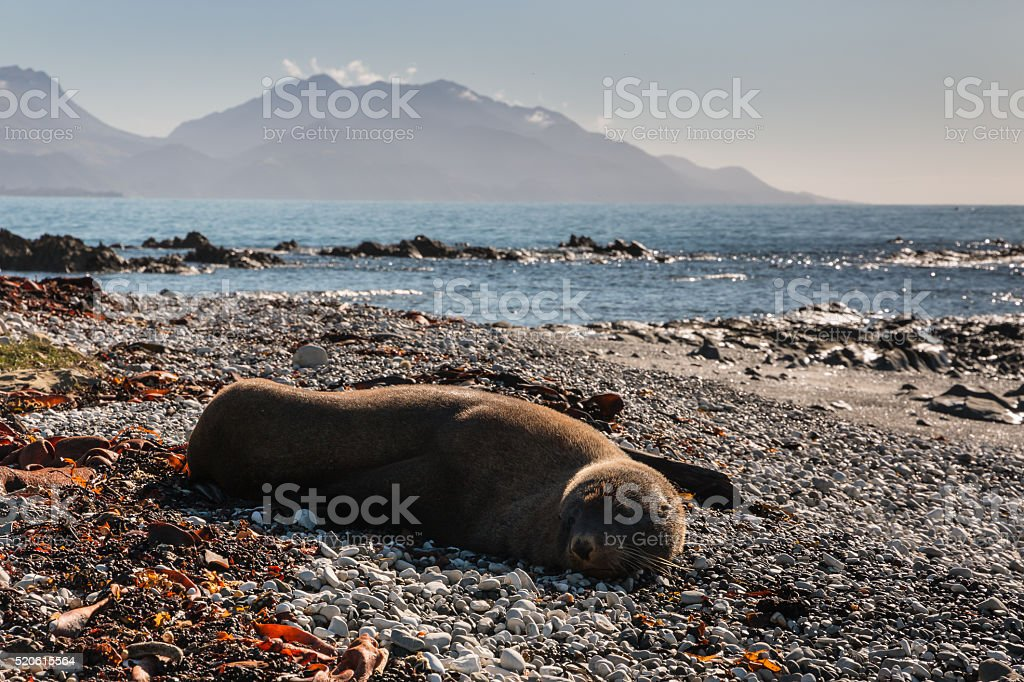 New Zealand fur seal with mountains in background stock photo