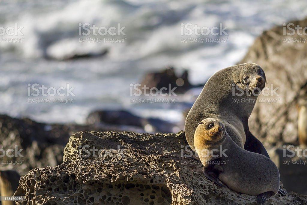 New Zealand fur seals Kekeno stock photo